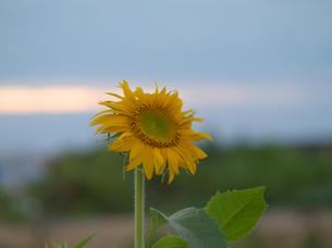 夕方の向日葵の写真素材 [FYI00439354]