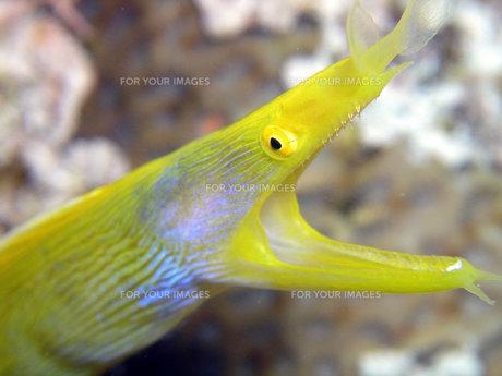 黄色のハナヒゲウツボの写真素材 [FYI00439381]