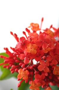 赤いサンダンカの花の写真素材 [FYI00439430]