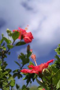 青空に咲く二輪のハイビスカスの写真素材 [FYI00439432]