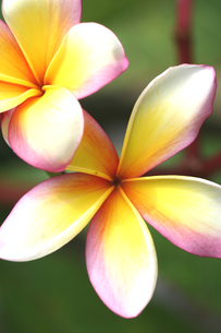 プルメリアの花の写真素材 [FYI00439436]
