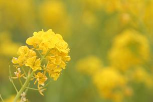 早春の菜の花の写真素材 [FYI00439439]