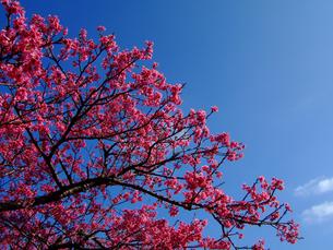 青空に咲くカンヒザクラの写真素材 [FYI00439444]