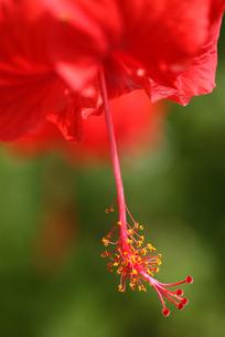 赤いハイビスカスのしべの写真素材 [FYI00439445]
