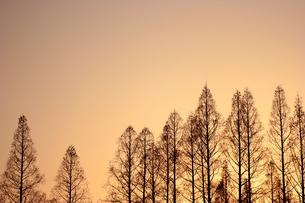 夕陽に染まる木のシルエットの写真素材 [FYI00439449]
