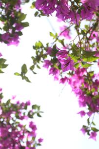 咲き誇るブーゲンビレアの写真素材 [FYI00439451]