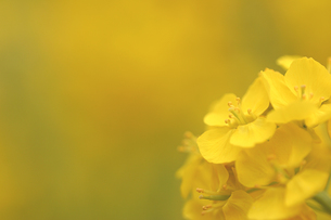 黄色に染まる菜の花の写真素材 [FYI00439452]
