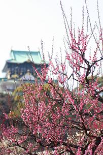 大阪城の梅の写真素材 [FYI00439453]