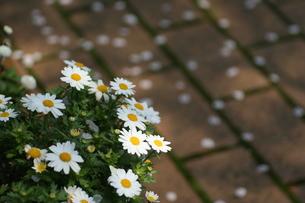 小さな白い花と桜の花びらの写真素材 [FYI00439455]