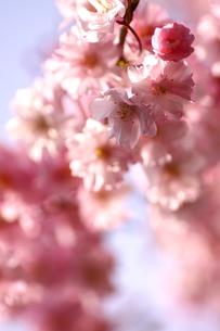 ピンクの枝垂桜の写真素材 [FYI00439459]