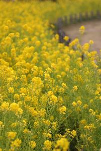 菜の花の咲く道の写真素材 [FYI00439460]