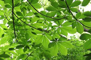 瑞々しい緑の葉の写真素材 [FYI00439461]