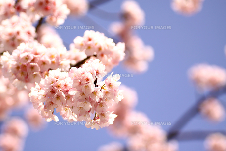 青空に映えるピンクの桜の写真素材 [FYI00439470]