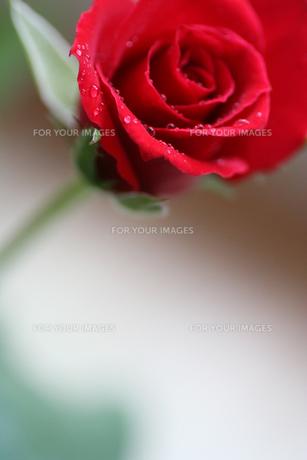 一輪の赤いバラの写真素材 [FYI00439478]