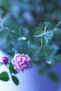 朝の光を浴びるピンク色のミニバラの写真素材 [FYI00439481]