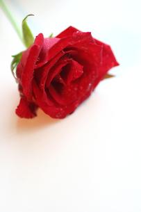 白バックの一輪の赤いバラの写真素材 [FYI00439483]