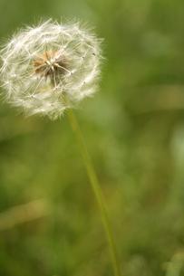 風に揺れるたんぽぽの綿毛の写真素材 [FYI00439488]