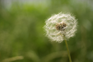たんぽぽの綿毛の写真素材 [FYI00439491]