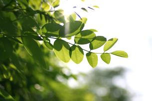 光を浴びる新緑の写真素材 [FYI00439492]
