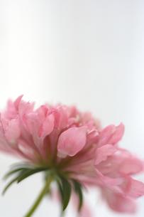 ピンク色のスカビオサの写真素材 [FYI00439493]
