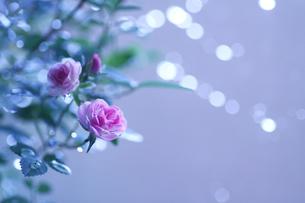 朝の光の中のピンク色のミニバラの素材 [FYI00439494]
