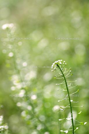 春風に揺れるナズナの素材 [FYI00439496]