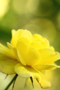 黄色のバラの写真素材 [FYI00439499]