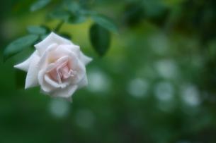 可憐なピンクのバラの写真素材 [FYI00439500]
