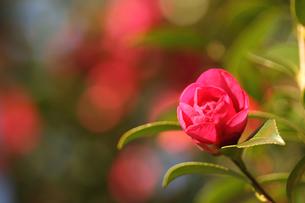 花開くサザンカの写真素材 [FYI00439501]