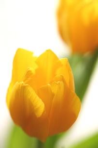 黄色のチューリップの写真素材 [FYI00439504]