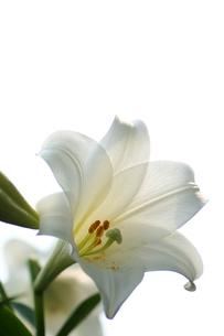 白いテッポウユリの写真素材 [FYI00439505]