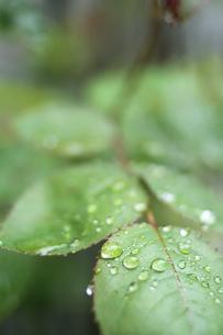 バラの葉についた雨上がりの雫の写真素材 [FYI00439507]