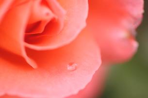 ピンクのバラの花びらとしずくの写真素材 [FYI00439516]