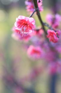 光を浴びる紅梅の写真素材 [FYI00439534]