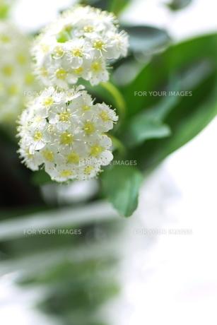 こでまりの花の写真素材 [FYI00439536]