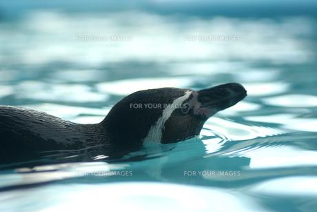 泳ぐペンギンの素材 [FYI00439539]