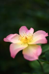 ピンクのバラのしべの写真素材 [FYI00439543]
