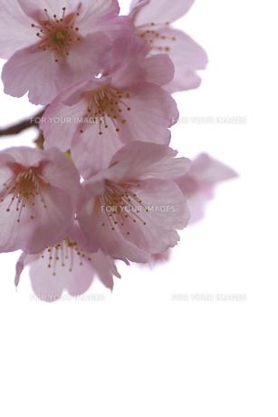 桜の花びらのアップの素材 [FYI00439549]