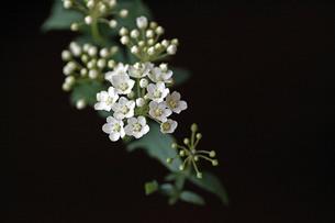 コデマリの花の写真素材 [FYI00439553]