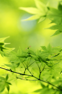 新緑のもみじの写真素材 [FYI00439554]
