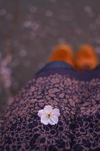 膝の上の桜の花びらの写真素材 [FYI00439559]