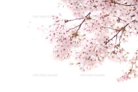 白い背景の桜の花の写真素材 [FYI00439560]