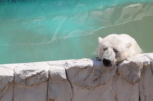 暑い夏のホッキョクグマの写真素材 [FYI00439561]