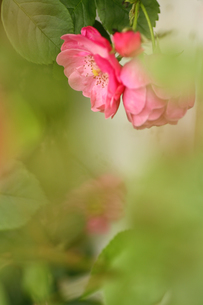 小さなピンクのバラの写真素材 [FYI00439571]