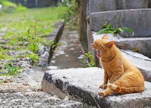 あくびをする猫の写真素材 [FYI00439609]