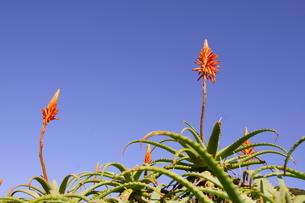 アロエの花の写真素材 [FYI00439784]