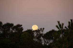 松と満月明け方の写真素材 [FYI00439789]
