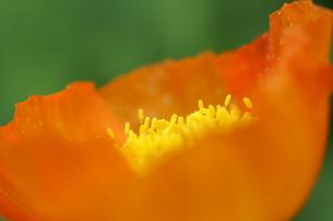 ポピー オレンジ アップの写真素材 [FYI00439860]