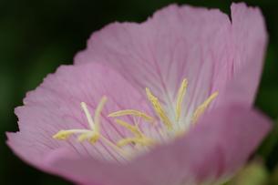 ポピー 紫 アップの写真素材 [FYI00439862]