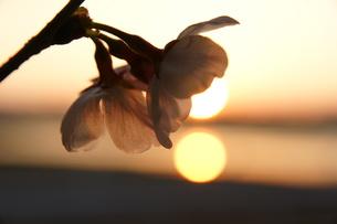 サクラと朝日の写真素材 [FYI00439863]